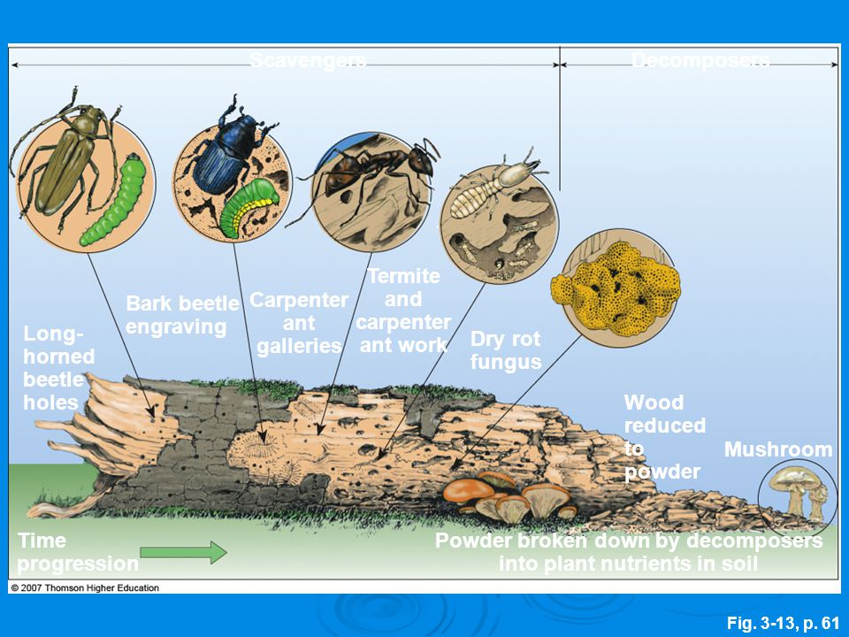Fig. 3-13, p. 61 Scavengers Powder broken down by decomposers into plant nutrients in soil Bark beetle engraving Decomposers Long- horned beetle holes