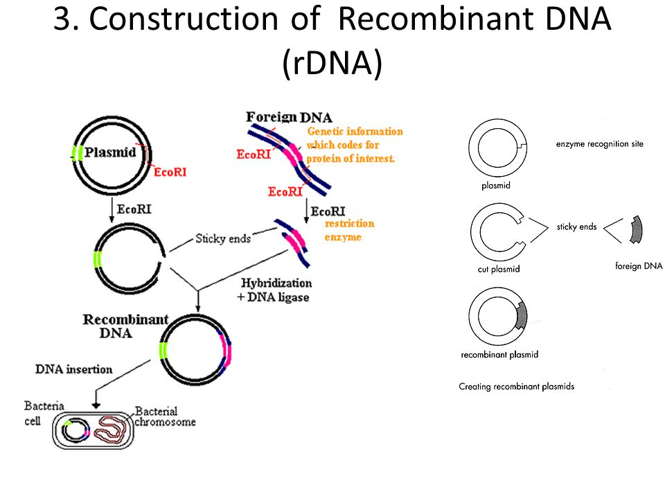 2. Isolation of DNA vector Vectors : The extrachromosomal DNA that carries desired gene to the host cell is called gene cloning vector. Eg. Plasmids,