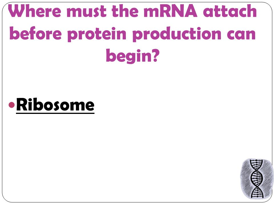 Where must the mRNA attach before protein production can begin Ribosome