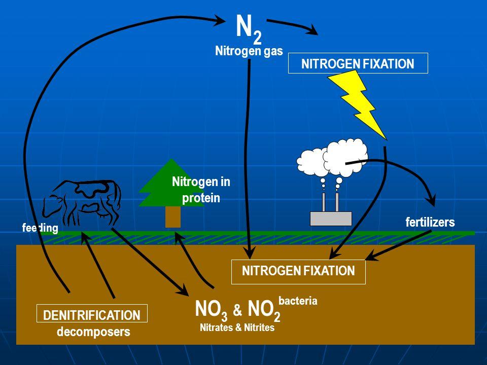 N 2 Nitrogen gas NITROGEN FIXATION fertilizers decomposers Nitrogen in protein bacteria NO 3 & NO 2 Nitrates & Nitrites feeding DENITRIFICATION NITROGEN FIXATION