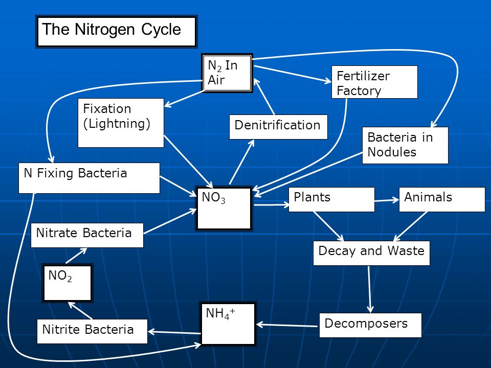 The Nitrogen Cycle N 2 In Air Denitrification Fertilizer Factory Fixation (Lightning) N Fixing Bacteria NO 3 Nitrate Bacteria NO 2 Nitrite Bacteria NH 4 + Decomposers Decay and Waste PlantsAnimals Bacteria in Nodules