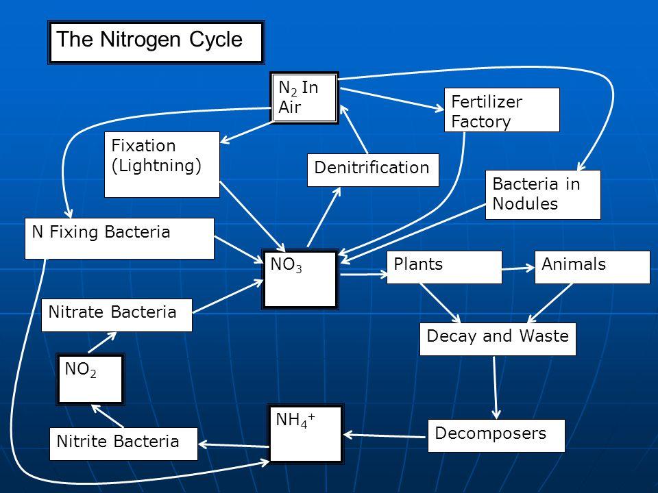 The Nitrogen Cycle N 2 In Air Denitrification Fertilizer Factory Fixation (Lightning) N Fixing Bacteria NO 3 Nitrate Bacteria NO 2 Nitrite Bacteria NH