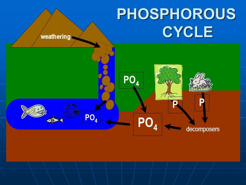 weathering PO 4 decomposers P P PHOSPHOROUS CYCLE