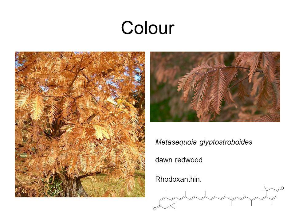 Colour Metasequoia glyptostroboides dawn redwood Rhodoxanthin: