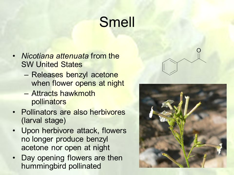 Smell Nicotiana attenuata from the SW United States –Releases benzyl acetone when flower opens at night –Attracts hawkmoth pollinators Pollinators are