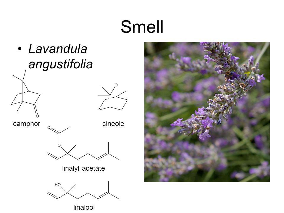 Smell Lavandula angustifolia camphorcineole linalyl acetate linalool