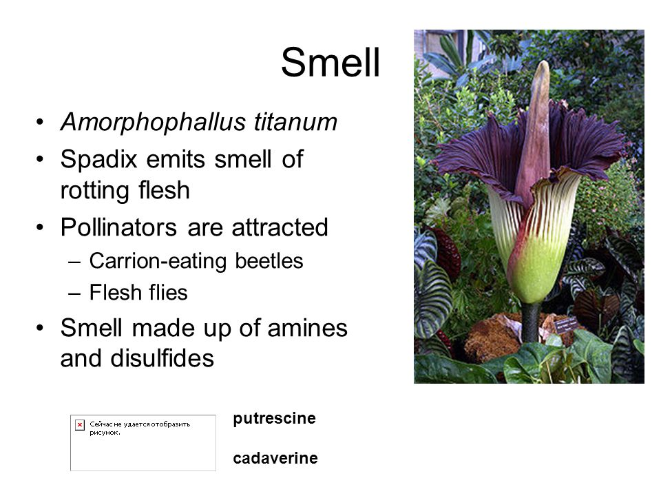 Smell Amorphophallus titanum Spadix emits smell of rotting flesh Pollinators are attracted –Carrion-eating beetles –Flesh flies Smell made up of amine