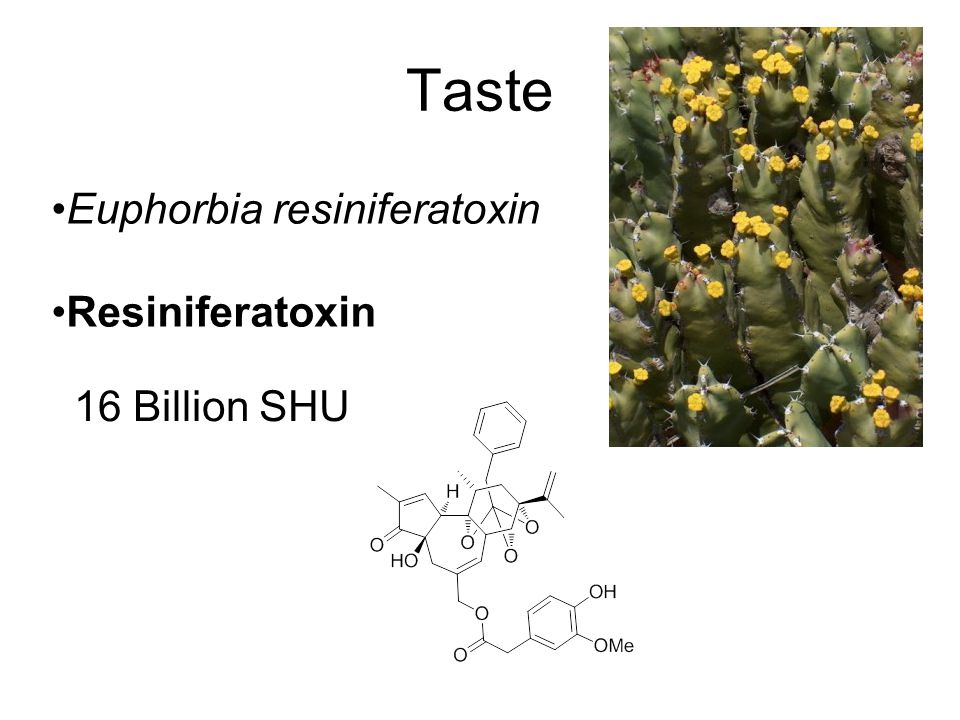 Taste Euphorbia resiniferatoxin Resiniferatoxin 16 Billion SHU
