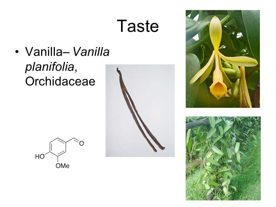 Taste Vanilla– Vanilla planifolia, Orchidaceae