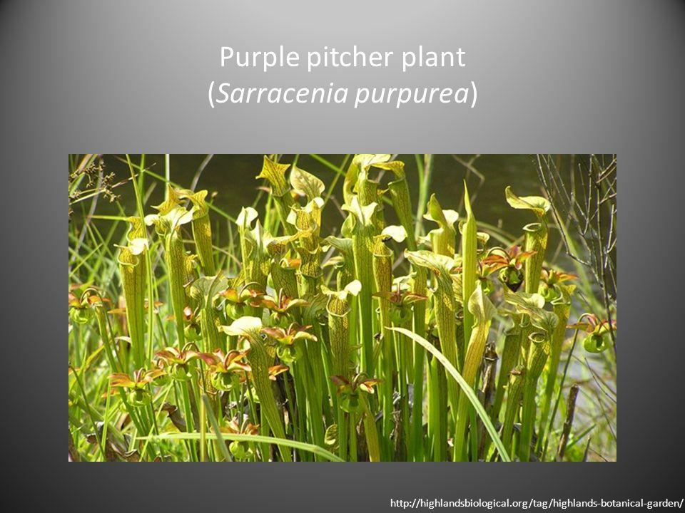 Purple pitcher plant (Sarracenia purpurea) http://highlandsbiological.org/tag/highlands-botanical-garden/
