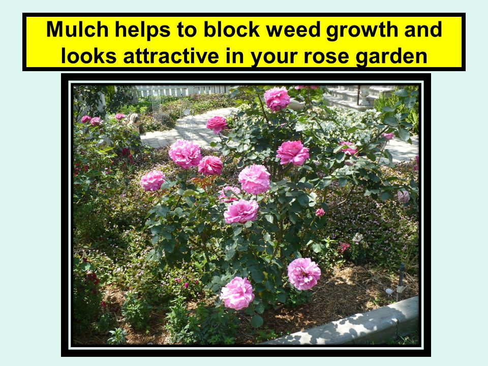 Mulch helps to block weed growth and looks attractive in your rose garden