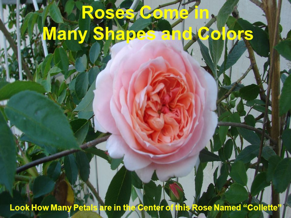 Roses Come in Many Shapes and Colors Look How Many Petals are in the Center of this Rose Named Collette