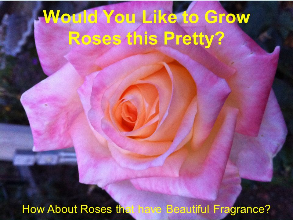 Would You Like to Grow Roses this Pretty How About Roses that have Beautiful Fragrance