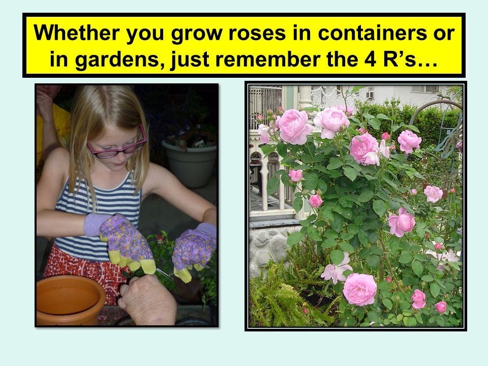 Whether you grow roses in containers or in gardens, just remember the 4 R's…