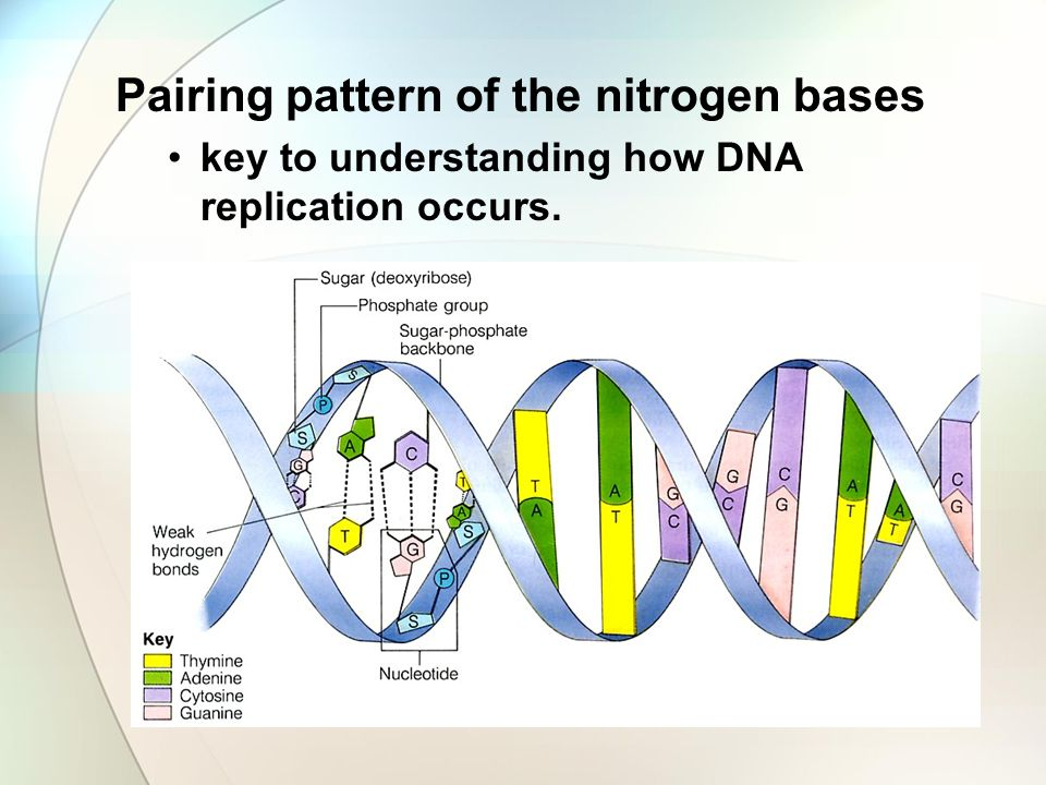 Pairing pattern of the nitrogen bases key to understanding how DNA replication occurs.