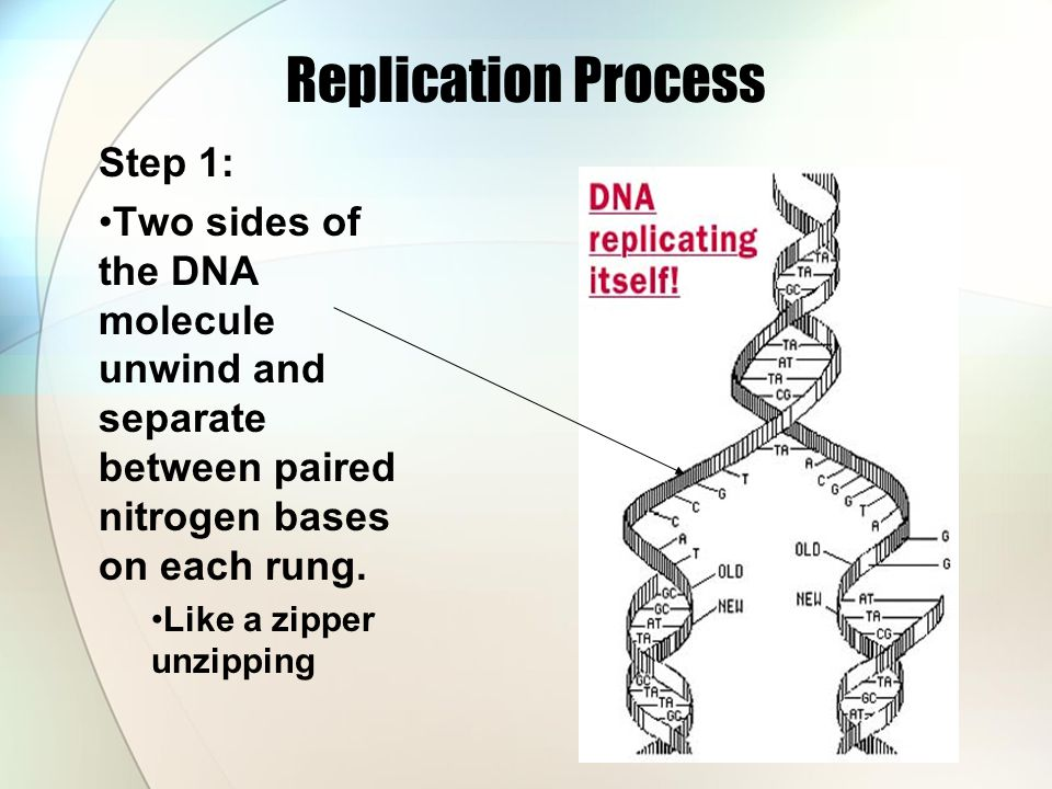 Replication Process Step 1: Two sides of the DNA molecule unwind and separate between paired nitrogen bases on each rung. Like a zipper unzipping