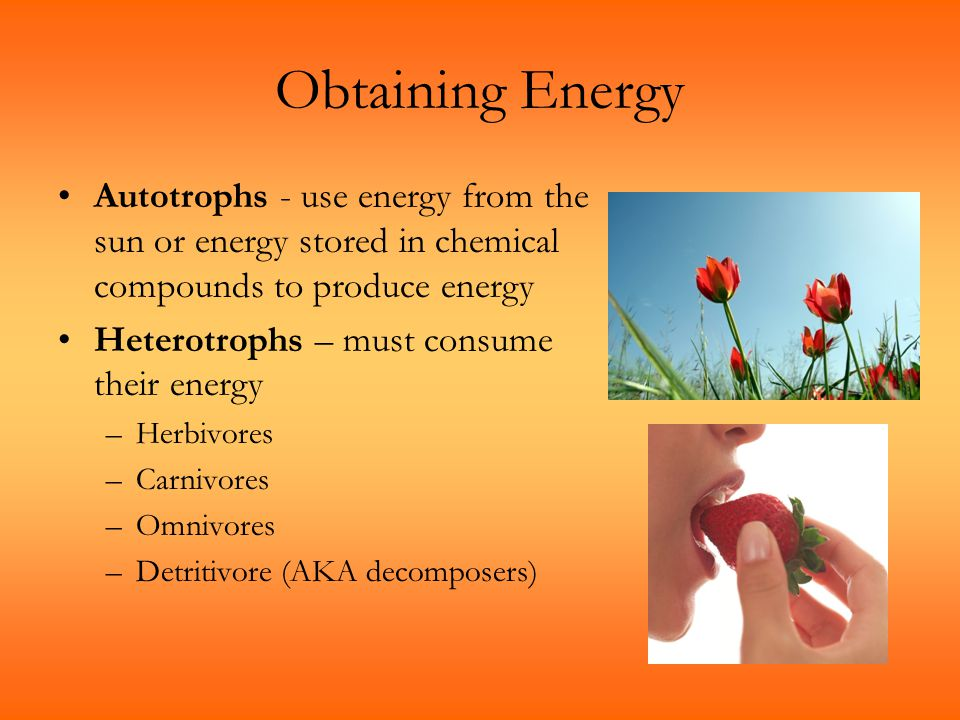 Obtaining Energy Autotrophs - use energy from the sun or energy stored in chemical compounds to produce energy Heterotrophs – must consume their energ