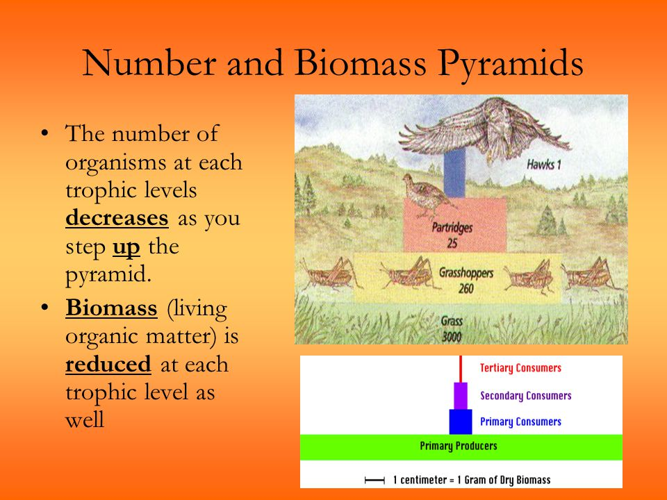 Number and Biomass Pyramids The number of organisms at each trophic levels decreases as you step up the pyramid. Biomass (living organic matter) is re
