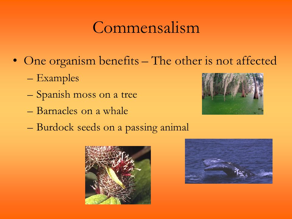 Commensalism One organism benefits – The other is not affected –Examples –Spanish moss on a tree –Barnacles on a whale –Burdock seeds on a passing ani