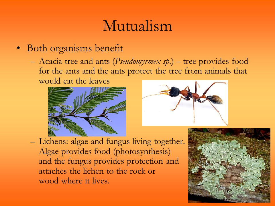 Mutualism Both organisms benefit –Acacia tree and ants (Pseudomyrmex sp.) – tree provides food for the ants and the ants protect the tree from animals