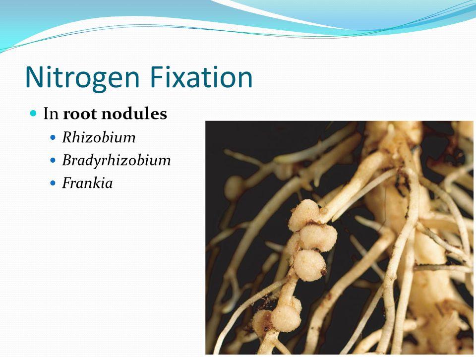 Nitrogen Fixation In root nodules Rhizobium Bradyrhizobium Frankia