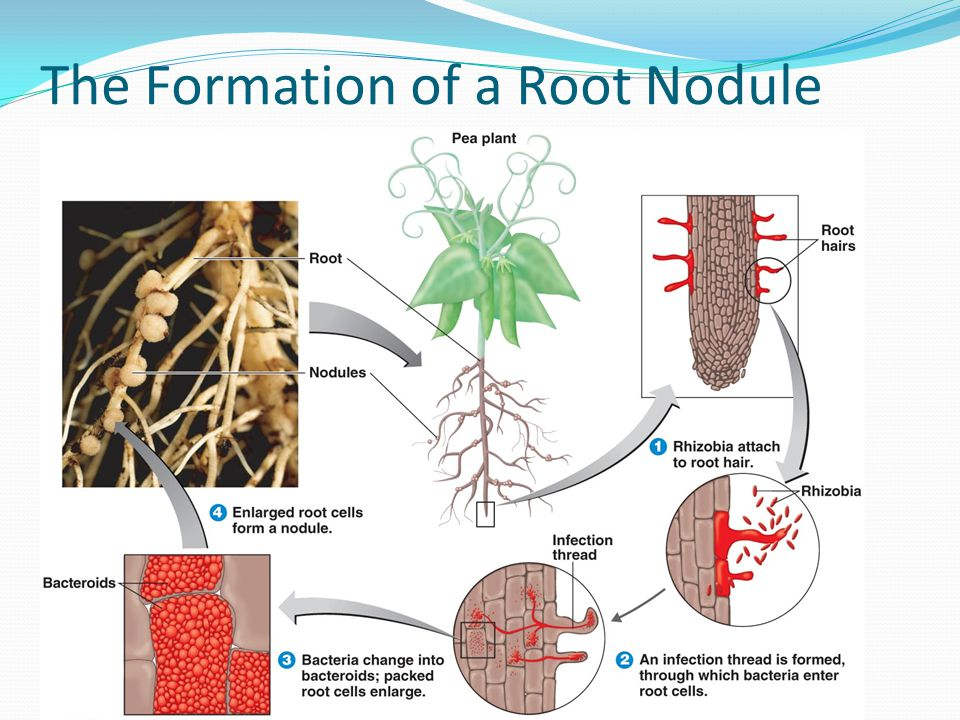 The Formation of a Root Nodule