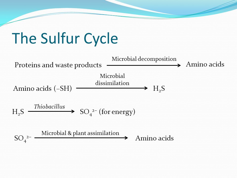 Proteins and waste products Amino acids Microbial decomposition Amino acids (–SH) Microbial dissimilation H2SH2S H2SH2S Thiobacillus SO 4 2– (for energy) SO 4 2– Microbial & plant assimilation Amino acids The Sulfur Cycle