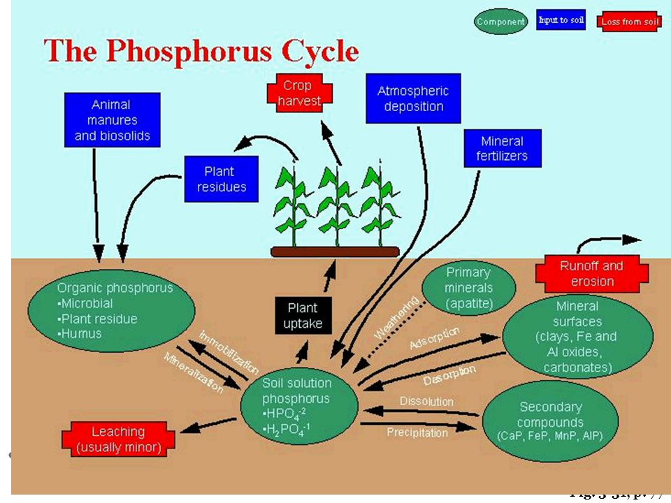 Phosphorus cont' 4. Not common in biosphere 5. Slowest biogeochemical cycle 6. Remains mostly on land in rock/soil minerals & in ocean sediments 7. St