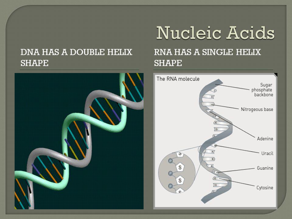 DNA HAS A DOUBLE HELIX SHAPE RNA HAS A SINGLE HELIX SHAPE