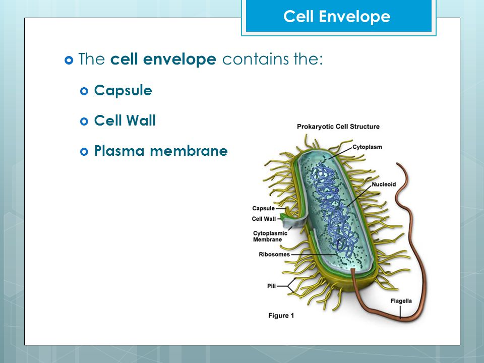  The cell envelope contains the:  Capsule  Cell Wall  Plasma membrane Cell Envelope