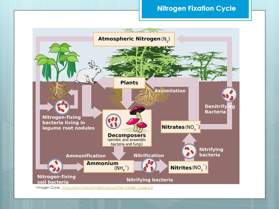 Nitrogen Cycle. http://commons.wikimedia.org/wiki/File:Nitrogen_Cycle.svg http://commons.wikimedia.org/wiki/File:Nitrogen_Cycle.svg Nitrogen Fixation Cycle
