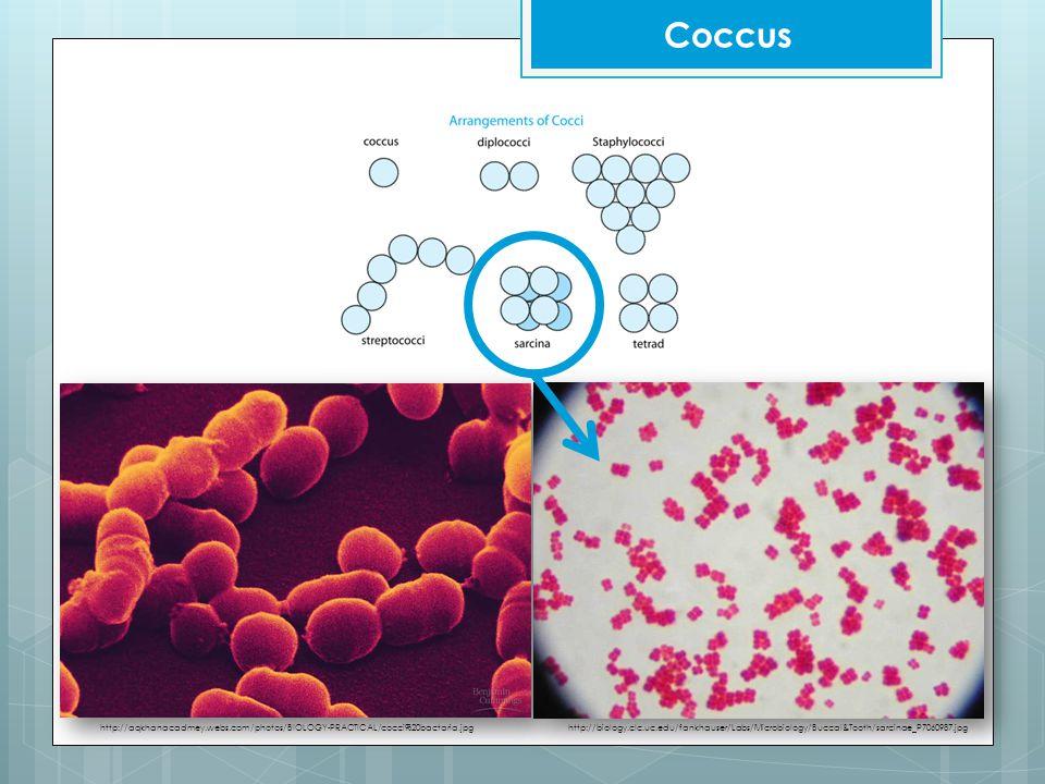 Coccus http://aqkhanacadmey.webs.com/photos/BIOLOGY-PRACTICAL/cocci%20bactaria.jpghttp://biology.clc.uc.edu/fankhauser/Labs/Microbiology/Buccal&Tooth/sarcinae_P7060987.jpg