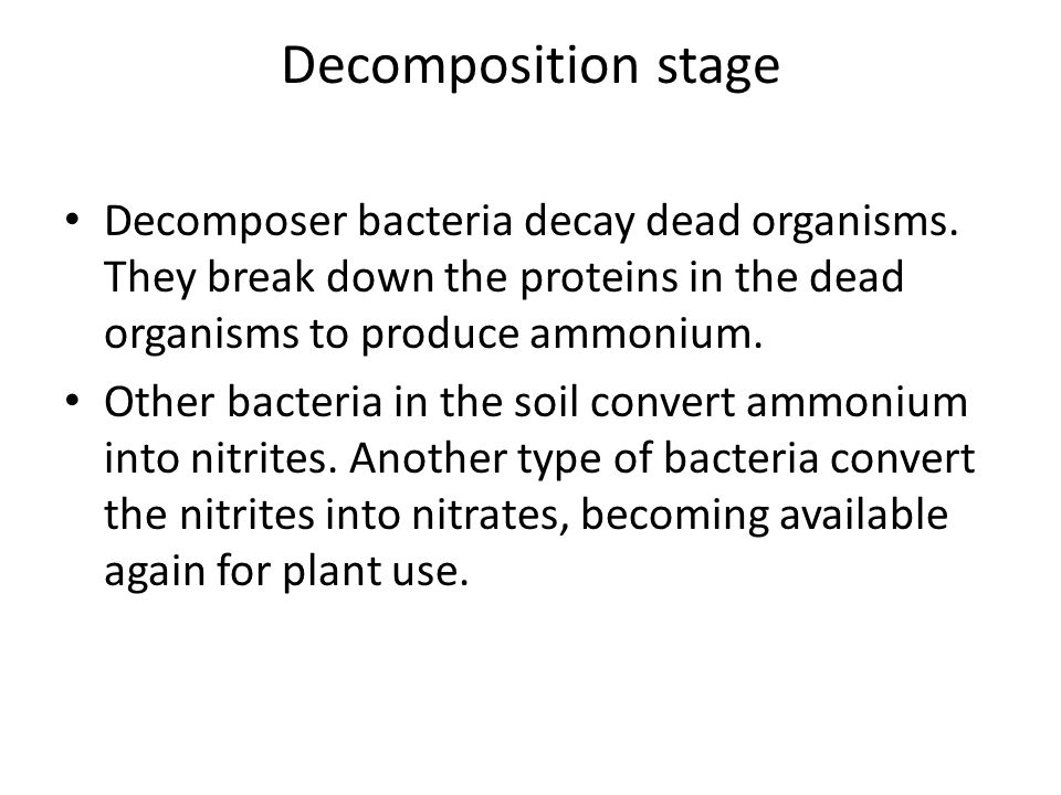 Decomposition stage Decomposer bacteria decay dead organisms. They break down the proteins in the dead organisms to produce ammonium. Other bacteria i