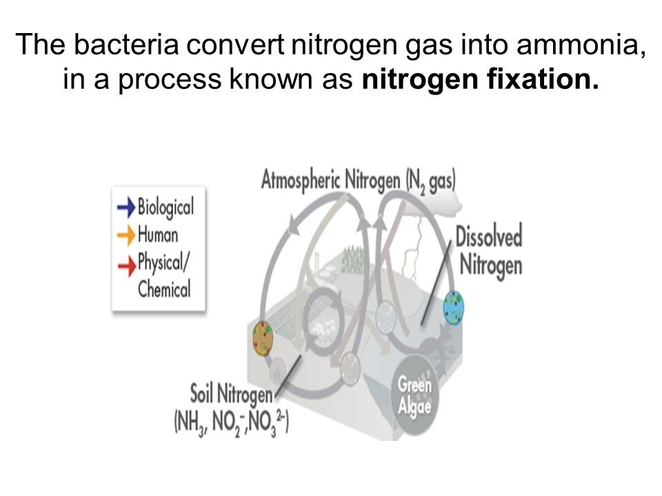 The bacteria convert nitrogen gas into ammonia, in a process known as nitrogen fixation.