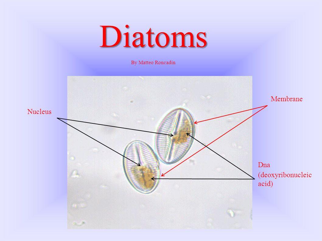 Diatoms By Matteo Roncadin Nucleus Membrane Dna (deoxyribonucleic acid)
