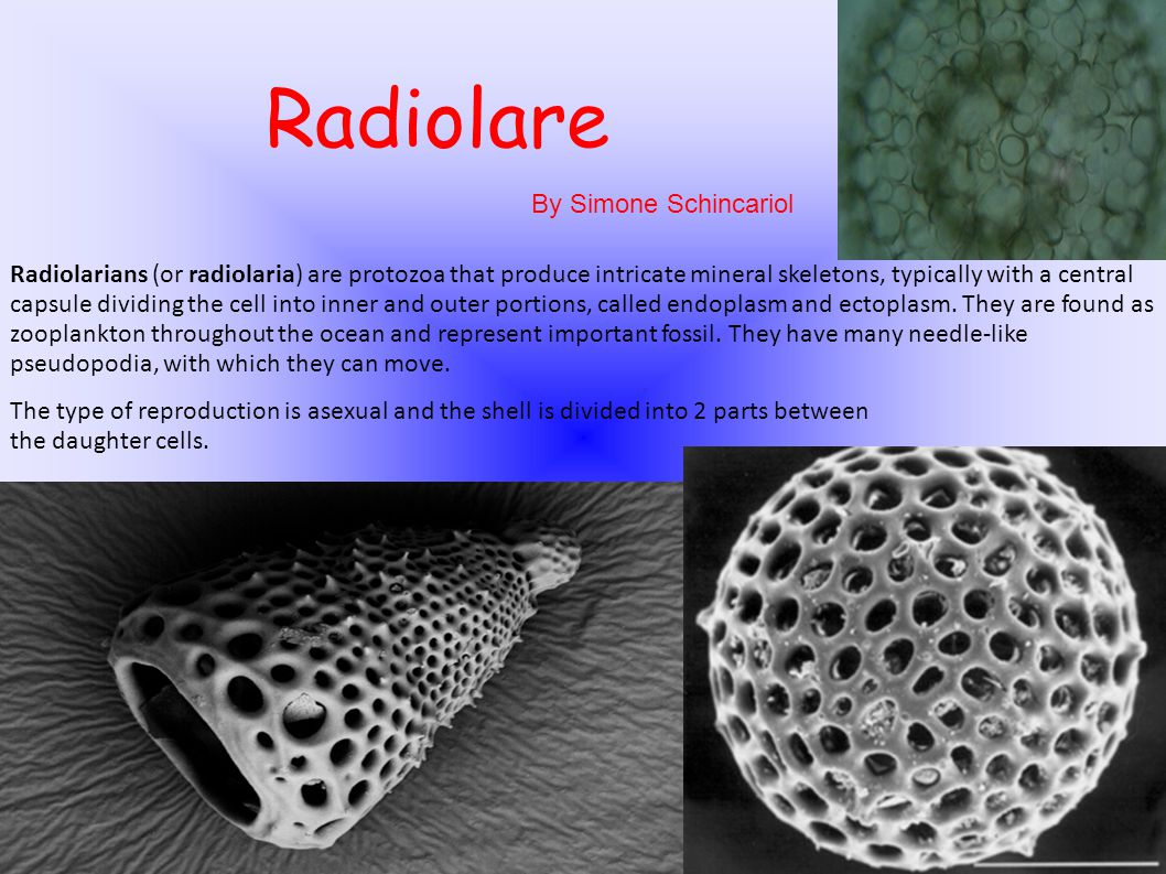 Radiolarians (or radiolaria) are protozoa that produce intricate mineral skeletons, typically with a central capsule dividing the cell into inner and