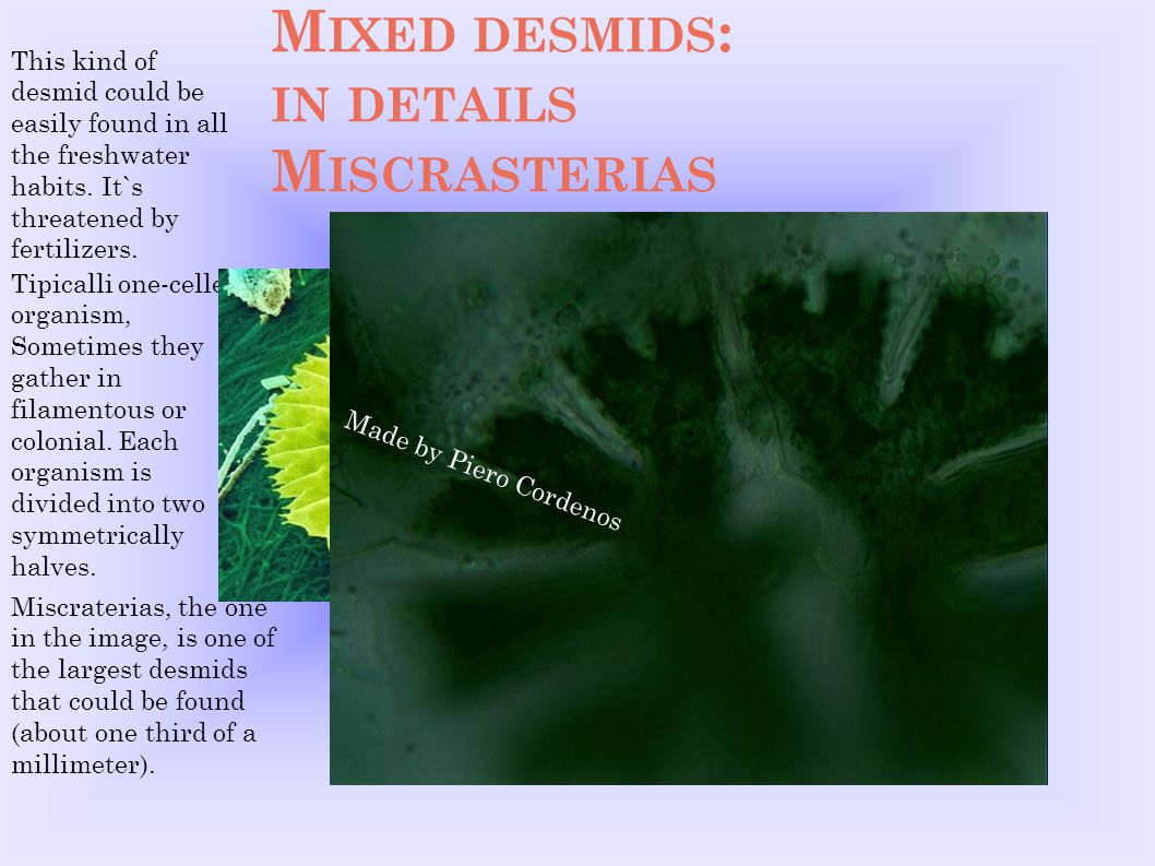 M IXED DESMIDS : IN DETAILS M ISCRASTERIAS This kind of desmid could be easily found in all the freshwater habits. It`s threatened by fertilizers. Tip