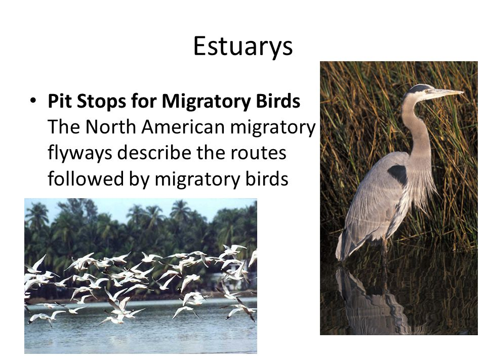 Estuarys Pit Stops for Migratory Birds The North American migratory flyways describe the routes followed by migratory birds