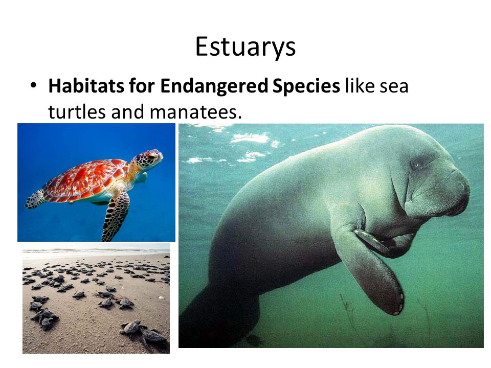 Estuarys Habitats for Endangered Species like sea turtles and manatees.
