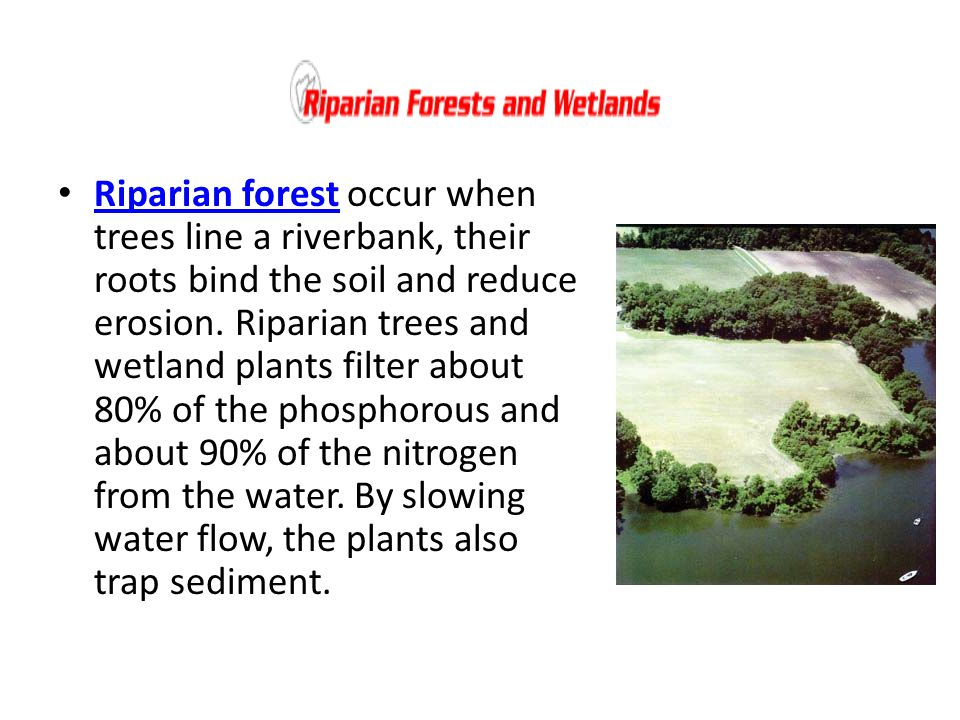 Riparian forest occur when trees line a riverbank, their roots bind the soil and reduce erosion.