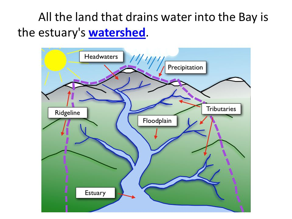 All the land that drains water into the Bay is the estuary s watershed.watershed