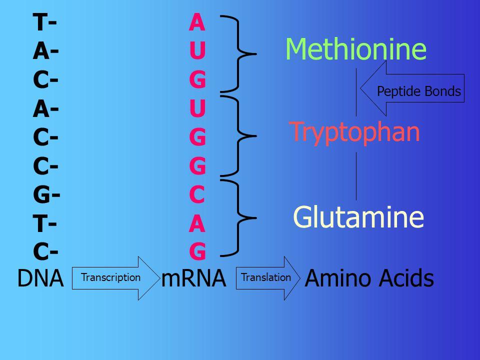 T- A- C- A- C- C- G- T- C- AUGUGGCAGAUGUGGCAG DNA mRNA Amino Acids Methionine Tryptophan Glutamine TranscriptionTranslation Peptide Bonds
