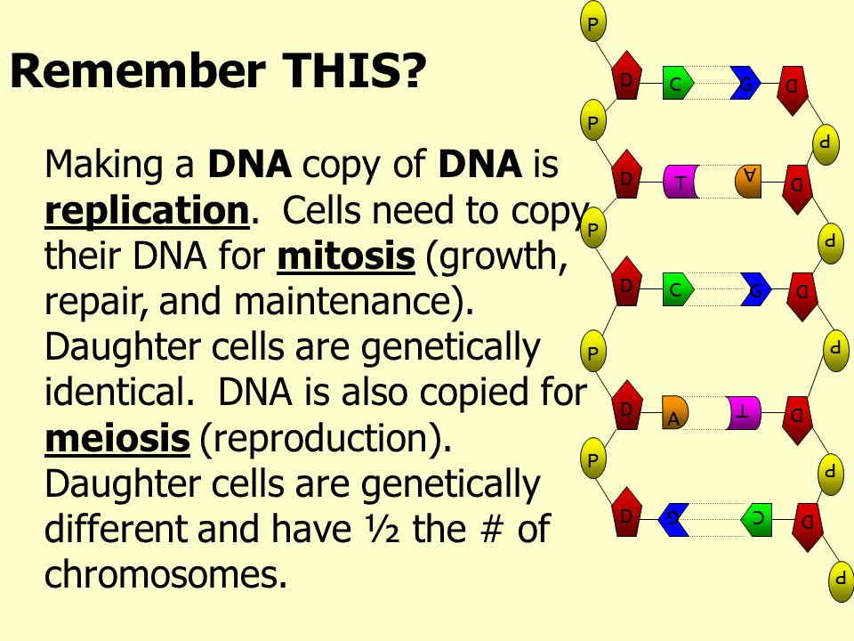 Remember THIS? Making a DNA copy of DNA is replication. Cells need to copy their DNA for mitosis (growth, repair, and maintenance). Daughter cells are