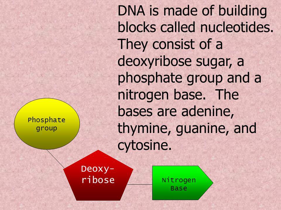 Nitrogen Base Phosphate group Deoxy- ribose DNA is made of building blocks called nucleotides.