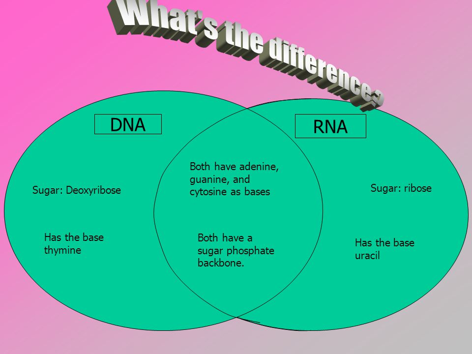 DNA RNA Both have adenine, guanine, and cytosine as bases Has the base thymine Has the base uracil Both have a sugar phosphate backbone.