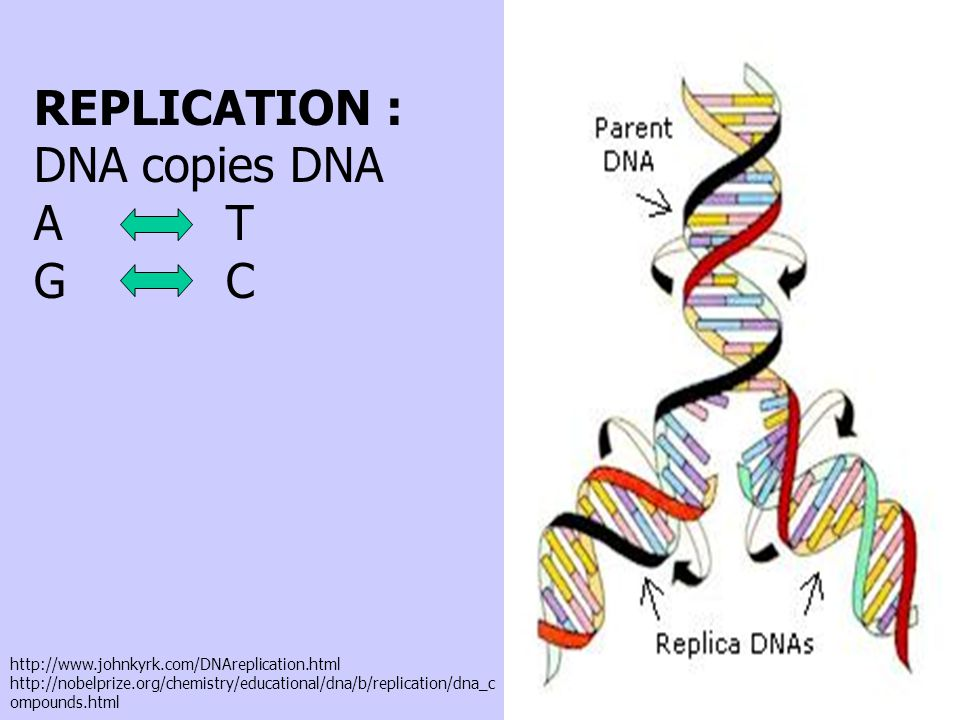 REPLICATION : DNA copies DNA A T G C http://www.johnkyrk.com/DNAreplication.html http://nobelprize.org/chemistry/educational/dna/b/replication/dna_c ompounds.html