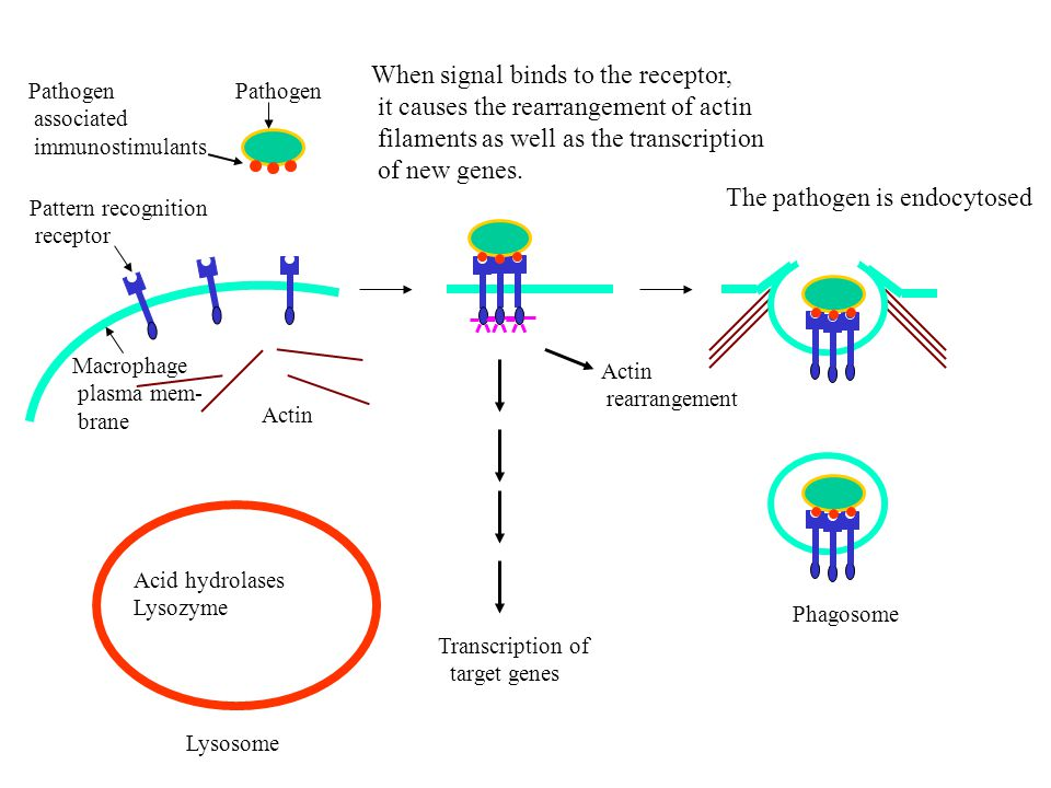Pathogen associated immunostimulants Pattern recognition receptor Macrophage plasma mem- brane Phagosome Lysosome Acid hydrolases Lysozyme Actin rearrangement Transcription of target genes When signal binds to the receptor, it causes the rearrangement of actin filaments as well as the transcription of new genes.