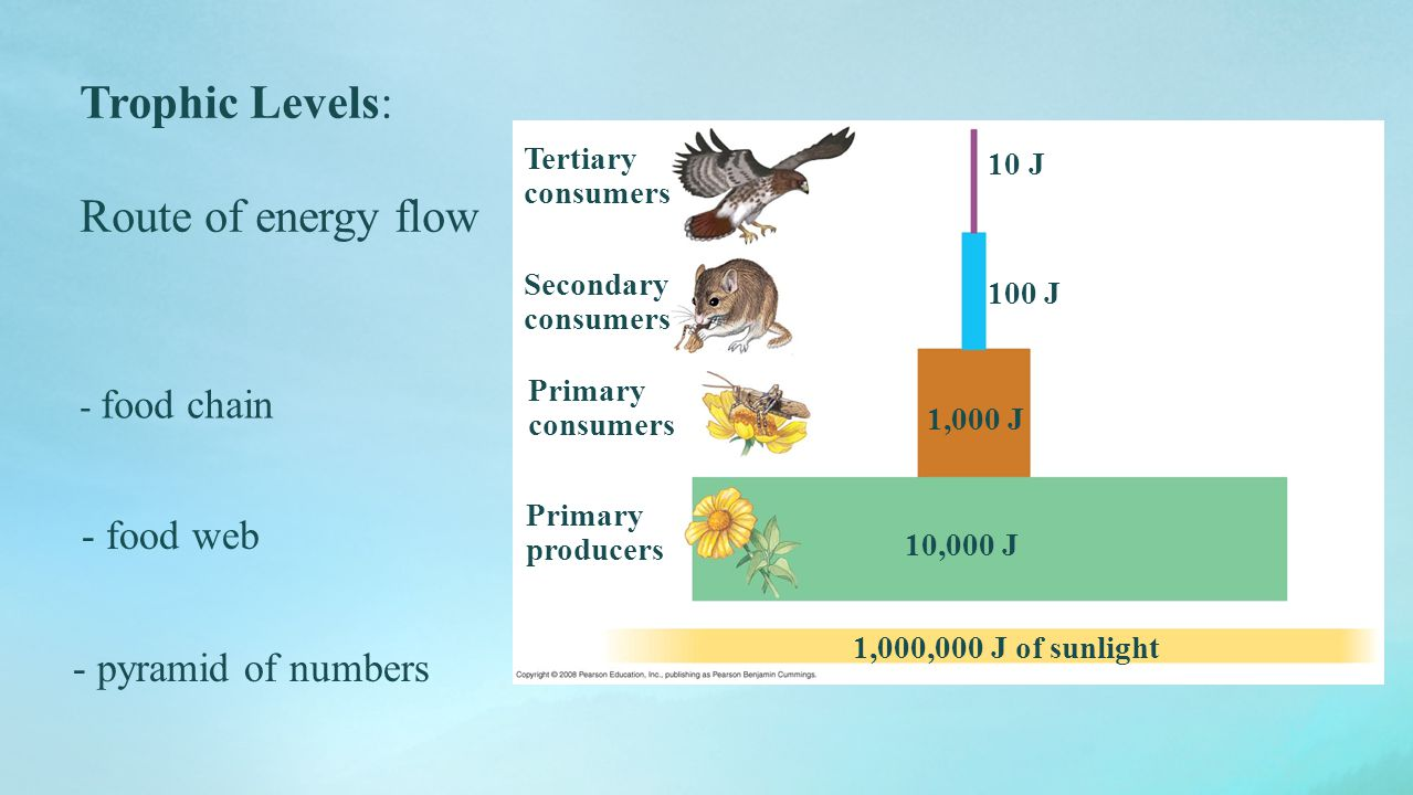 Trophic Levels: Route of energy flow - food chain - food web - pyramid of numbers Primary producers 100 J 1,000,000 J of sunlight 10 J 1,000 J 10,000