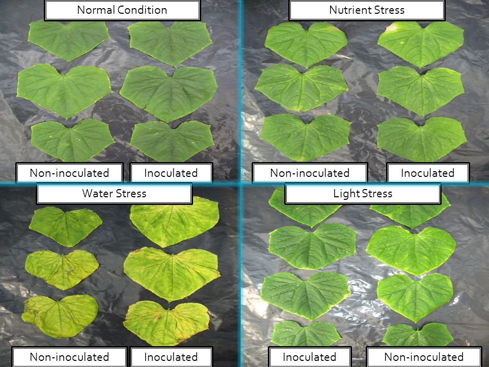 Inoculated Non-inoculated Normal Condition Light StressWater Stress Nutrient Stress