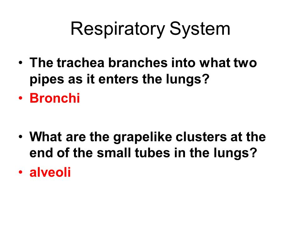 Respiratory System The trachea branches into what two pipes as it enters the lungs.